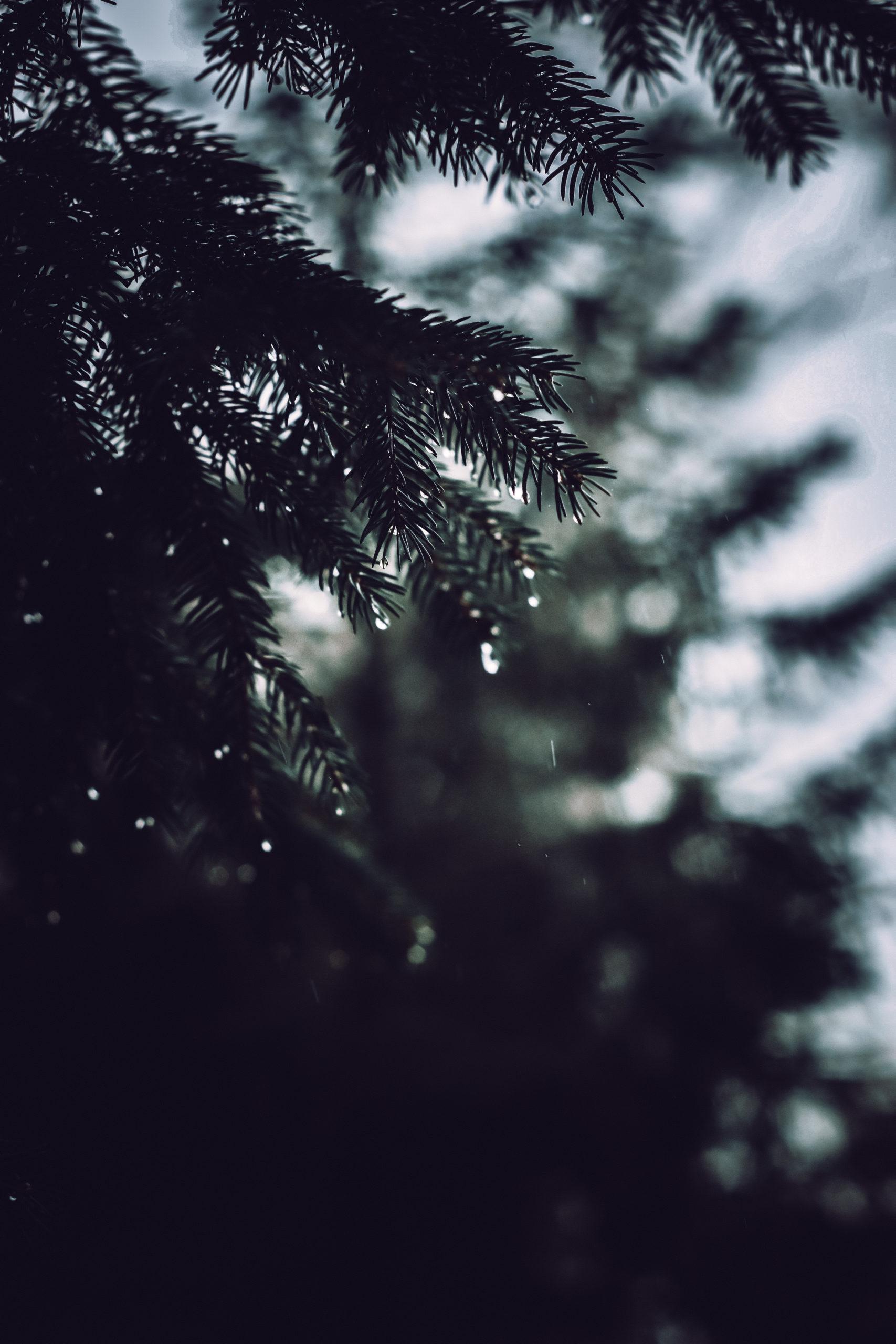 she wanders - Fichten-Zweige im mystischen Harzer Wald