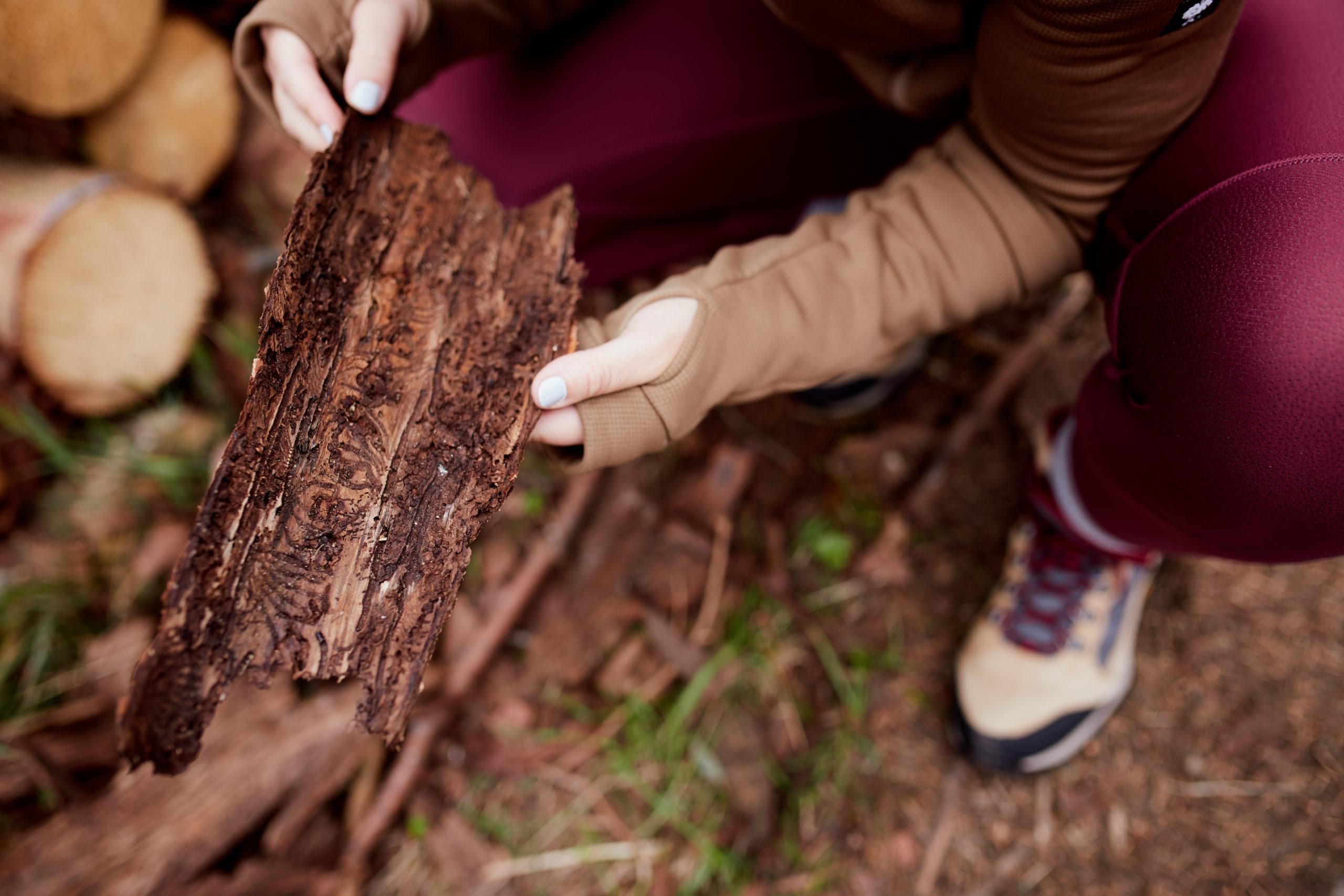 she wanders - Baumrinde einer Fichte und Fraßbild des Borkenkäfers im Harz