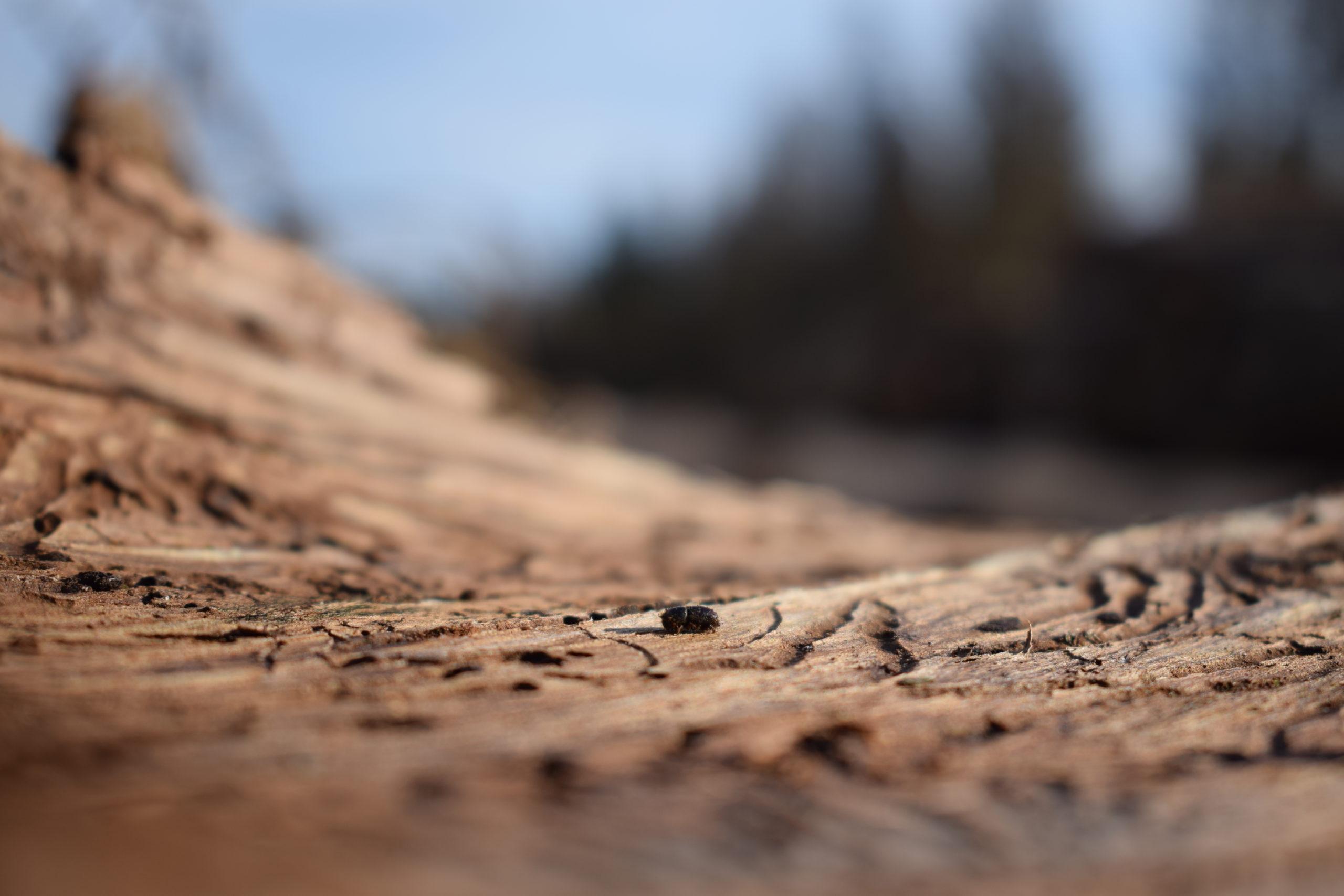 she wanders - Der Fichtenborkenkäfer im Harz
