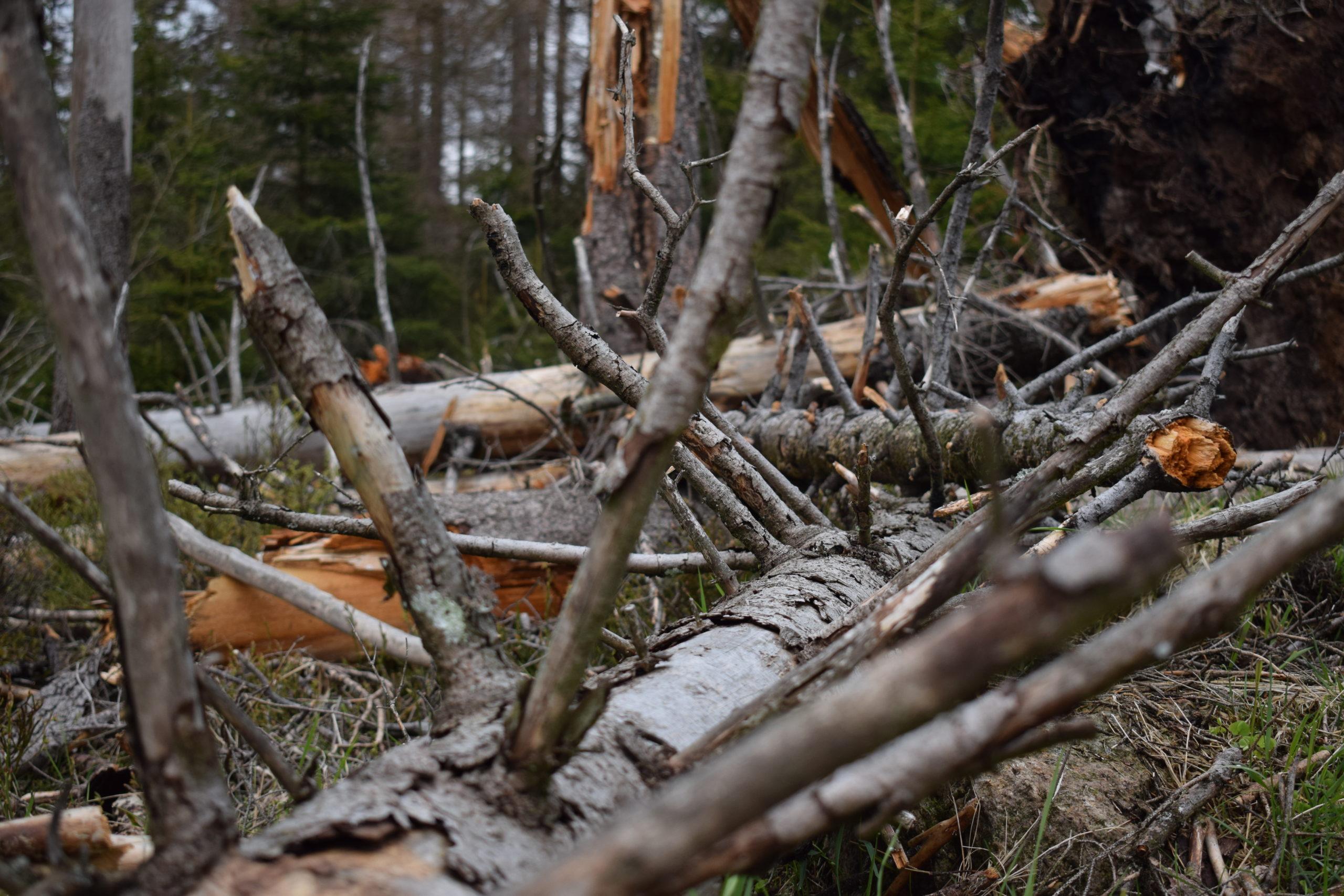she wanders - Totholz als Lebensraum im Harz